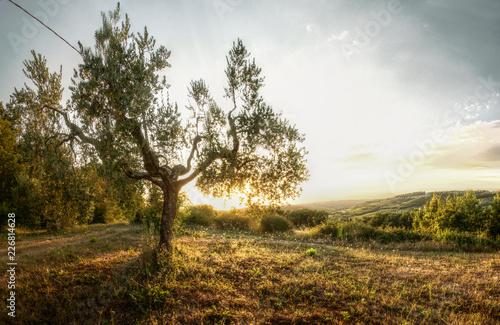 Foto op Aluminium Olijfboom Olives at sundown, Montespertoli, administrative region of Florence