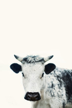 Portrait Of White And Black Cow