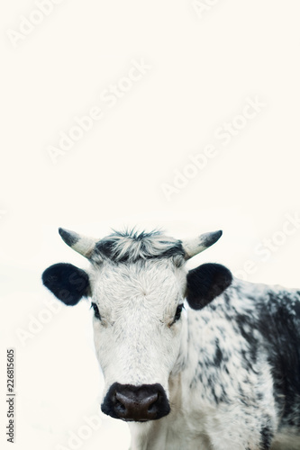 Spoed Foto op Canvas Koe Cow