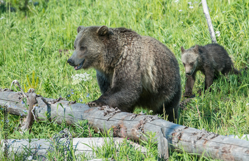 Photo  Grizzly bears
