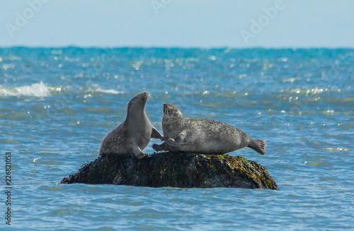 Photo  Harbor Seals