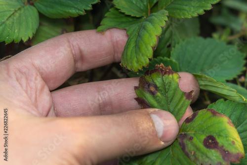 Fotografie, Obraz  diseases of the leaves of strawberries
