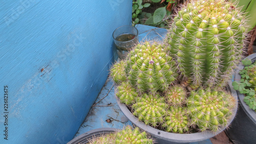close up of cactus plants in pot