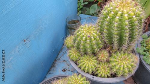 Foto op Plexiglas Cactus close up of cactus plants in pot