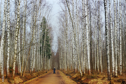 Birch grove in the early spring Canvas Print