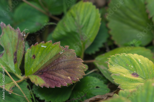 Fotografie, Obraz  diseases of the leaves of strawberries