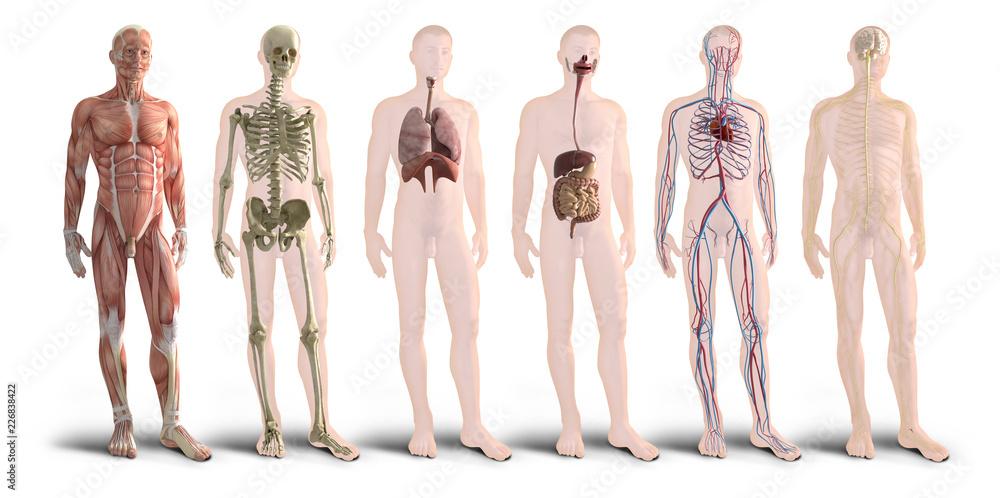 Digital 3d Render Of Human Body Organs Foto Poster Wandbilder Bei