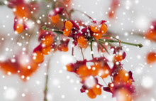 Nature And Environment Concept - Spindle Tree Or Euonymus Hamiltonianus Branch With Fruits In Winter