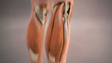 Calf Muscles Anatomy Medical Illustration