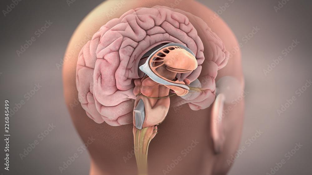 Fototapety, obrazy: Anatomy of Sagittal Section of Human Brain