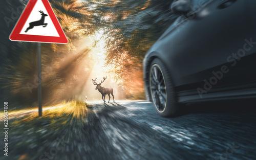 Wild überquert Fahrbahn