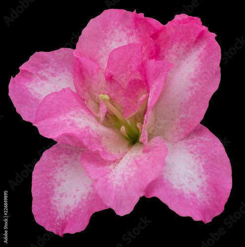 Pink Azalea flower isolated on black background