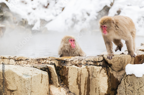 Photo animals, nature and wildlife concept - japanese macaques or snow monkeys in hot
