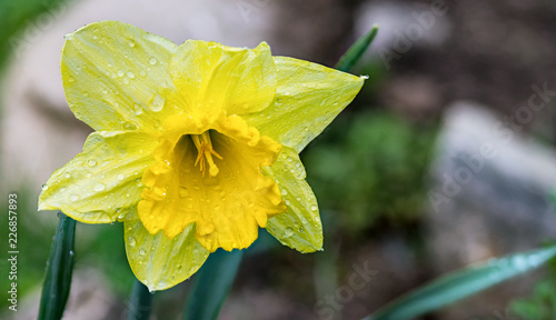 Deurstickers Narcis Daffodil flower head with water drops. Narcissus pseudonarcissus. Close-up of a realistic yellow Lent lily bloom on natural background. Ornamental garden bed detail in rainy weather. Selective focus.