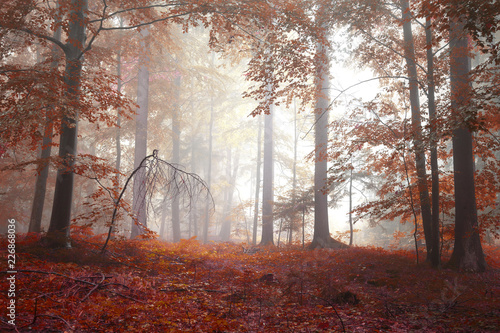 Poster Crimson Golden red colored autumn season foggy forest landscape.