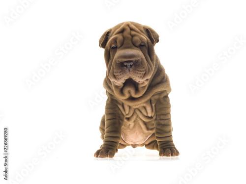 Photographie portrait studio d'un chien Shar-Pei de couleur fauve sable sur fond Fototapete