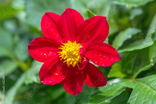 Beautiful red dahlia in the garden.