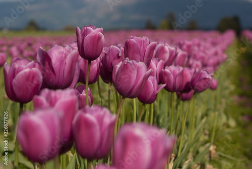 Skagit Valley, Washington Pink Tulip field close up