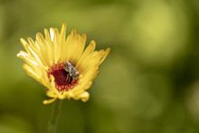 Bee On A Yellow Daisy Flower