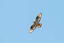 Honey Buzzard Flying Under Blue Sky. Powerful Funny Bird Of Prey In Wildlife.