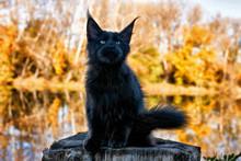 Black Maine Coon Kitten In Autumn Forest.