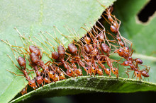 Red Ant, Ant Bridge Unity Team Cooperate To Achieve The Goal To Help Build The Nest