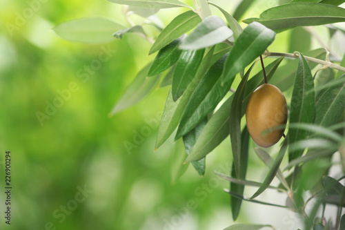 Foto op Plexiglas Olijfboom Twigs with fresh green olive leaves and fruit on blurred background. Space for text