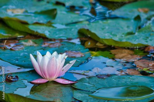 Fototapeta Lilia wodna  lilia-wodna