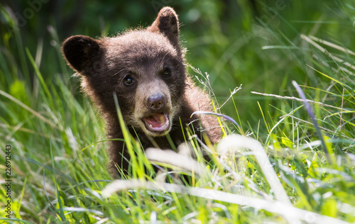 Black bear cub Wallpaper Mural