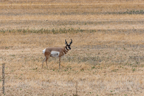 one antelope