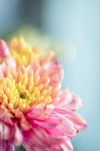 Tuinposter Macrofotografie Close up background of pink and yellow chrysanthemum flower, macro, vertical composition