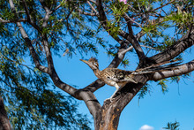 A Roadrunner Bird In A Desert Willow Tree Hunting For Food. Beautiful Blue Sky Behind A Colorful Road Runner On A Branch Looking Up. Tucson, Arizona. 2018.
