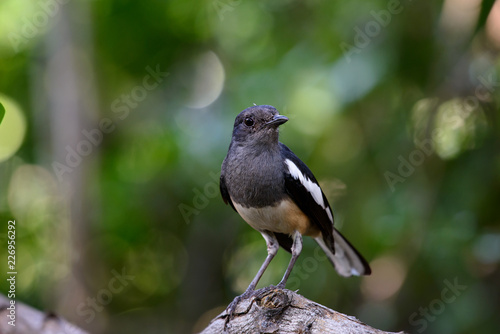 Fotografie, Obraz  Oriental magpie-robin, they are common birds in urban gardens as well as forests