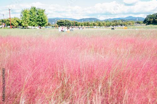 Foto op Plexiglas Candy roze Pink Muhly Grass field in Gyeongju, Korea