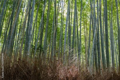 Foto op Plexiglas Bamboe Bamboo forest, Arashiyama, Kyoto, Japan. Morning sunlight.