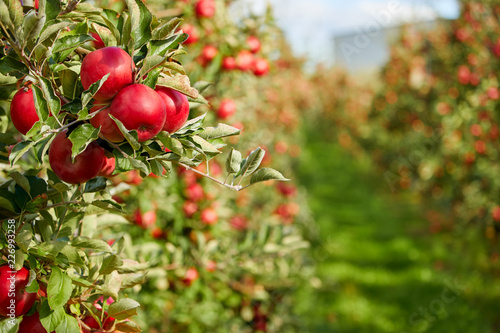 Fototapeta Shiny delicious apples hanging from a tree branch in an apple orchard