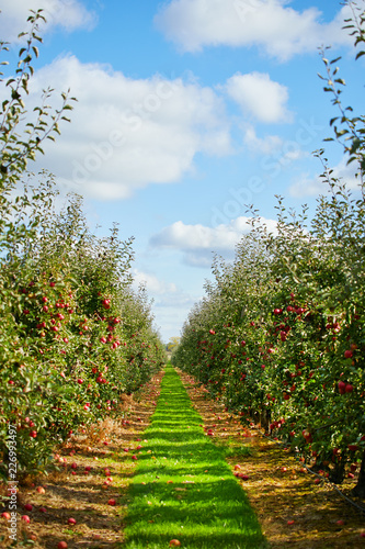 Apple on trees in orchard in fall season Fotobehang