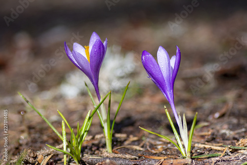 Close-up of beautiful closed Crocus Flowers on мeadow. Flowering Springt Flowers.
