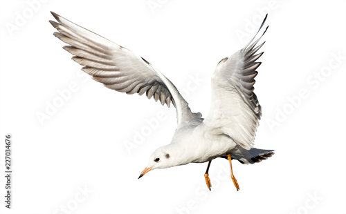 young flying gull isolated on white