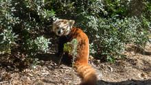 Red Panda (Ailurus Fulgens) Aka Lesser Panda, Or Red Bear-cat