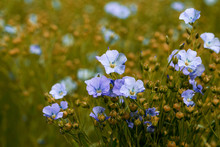 Bright Delicate Blue Flower Of...