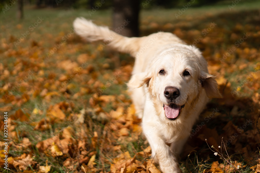 portrait of a beautiful golden retriever in fallen autumn foliage