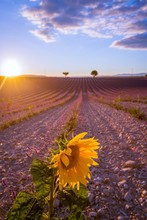 An Isolated Sunflower Among Fields Of Lavender In Provence France