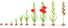 Life Cycle Of Gladiolus Plant. Stages Of Growth From Planting Corm To Adult Plant With Flowers And Seeds
