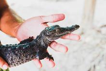 Baby Crocodile Held In Hands