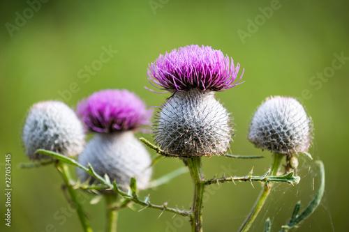 Obraz na plátně thistle flower soft photo