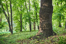 Big Oak Tree In Beautiful Park Scene In Park With Green Grass