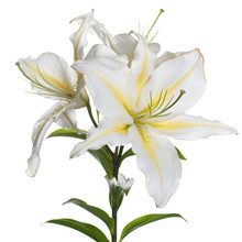 A Branch Of Delicate White-yellow Lily Flowers Isolated.