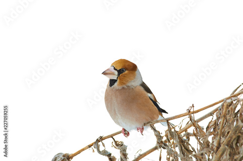 Cuadros en Lienzo Hawfinch sits on dry grass (isolated on a white background).