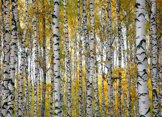 Fototapeta Brzoza Autumn birch trunks